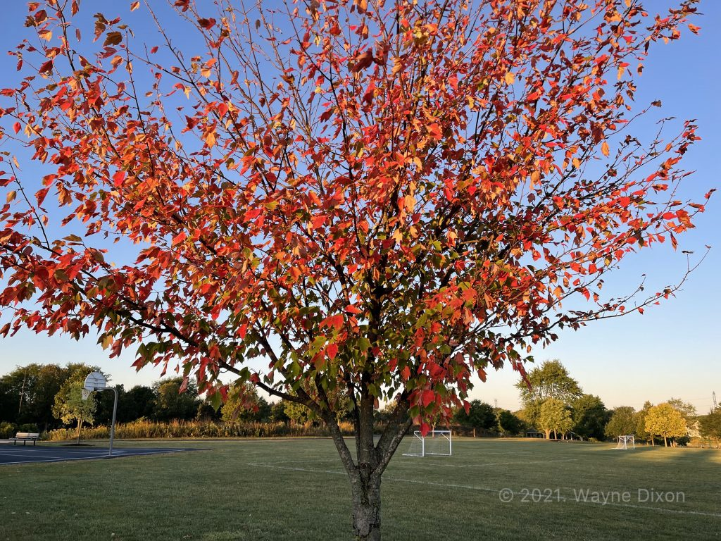 Picture of a Maple tree taken with an iPhone 12 Pro Max